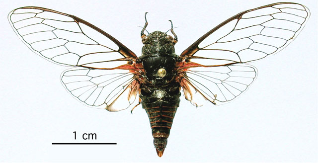 <em>Cicadetta olympica</em>, holotypus from Mt. Olymbos, Greece
