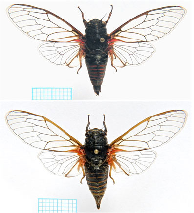 <em>Cicadetta dirfica</em> Gogala et al. 2011 - specimens from collection
