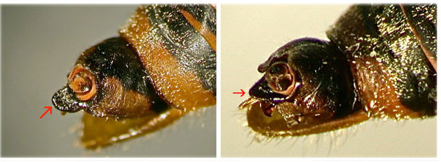 Differences in uncus <em>C. dirfica</em> (left) : <em>Euboeana castaneivaga</em>