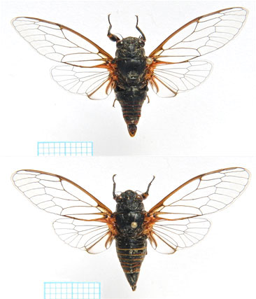<em>Euboeana castaneivaga</em> Gogala et al., 2011 - male above, female below