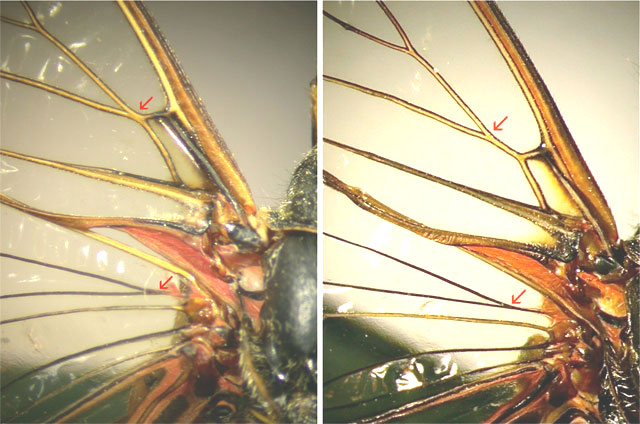 Differences in the venation of tegmina between both endemic species from Evia: <em>Cicadetta dirfica</em> and <em>Euboeana castaneivaga</em> (right)