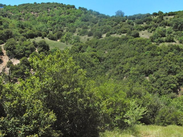 A typical habitat with <em>Quercus coccifera</em>, where one can find the new species <em>Cicadivetta goumenissa</em> on Peloponesos, Greece. (Photo M. Gogala)