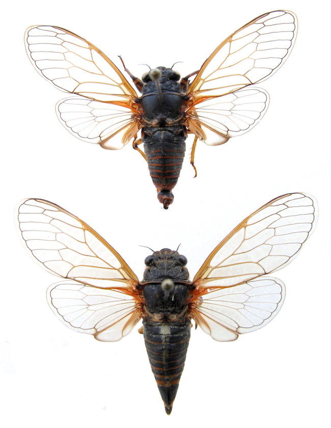 <em>Cicadetta brevipennis litoralis</em> holotype and female paratype - photo T.Hertach