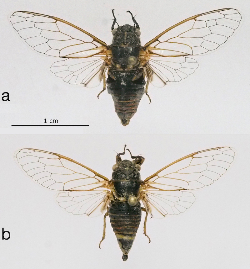 <em>Mezammira filoti</em>, a - male holotype, b - female paratype (photo M.G.).