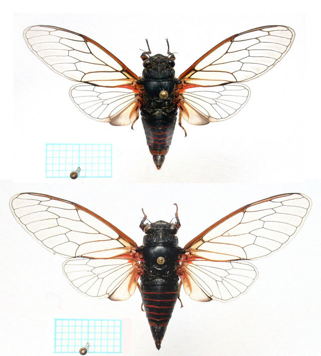 <em>C. hannekeae</em>, male above, female below