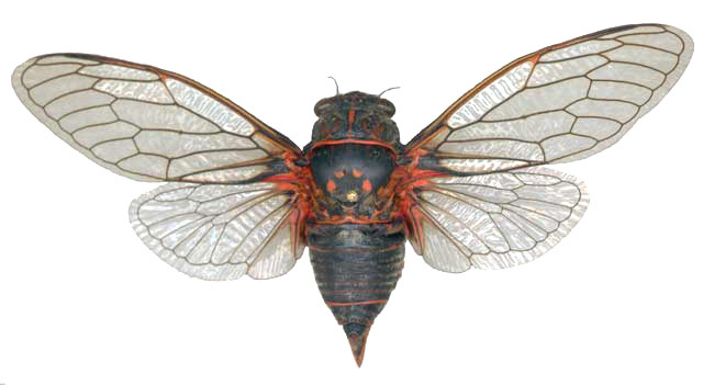 <em>T. quadrisignata</em>, male, France - photo J. Sueur