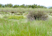 Salt marsh at sea level at Torreilles (Eastern Pyrenees, France), habitat of <em>Cicadetta brevipennis litoralis</em> - Photo S.Puissant